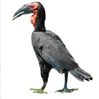 South Ground Hornbill